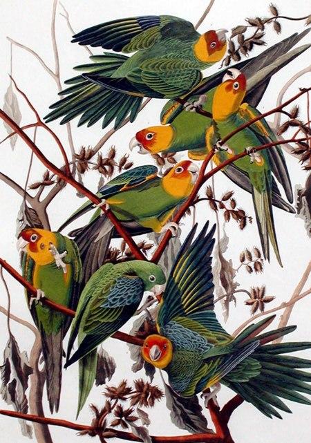 auduboncarolinaparakeet